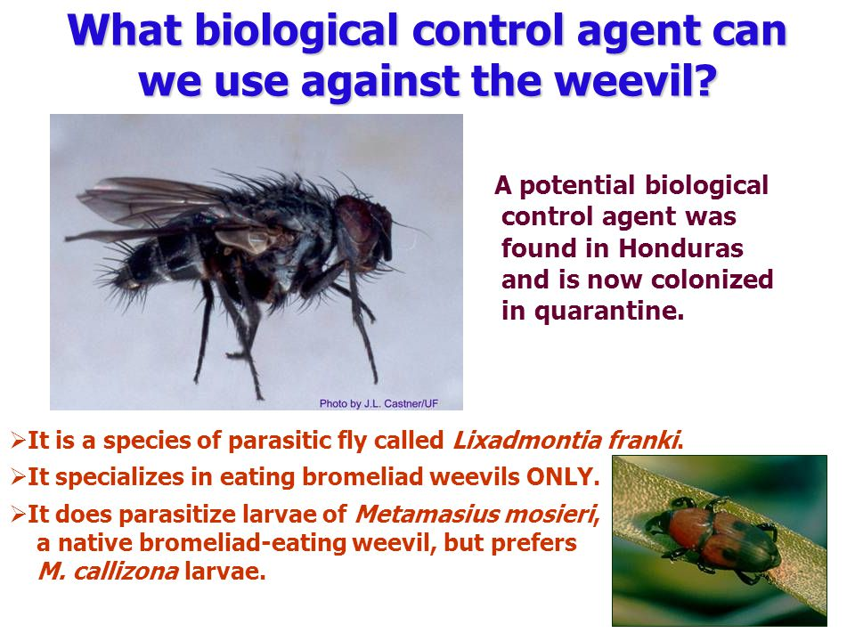  It is a species of parasitic fly called Lixadmontia franki.