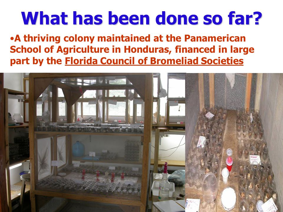 What has been done so far? A thriving colony maintained at the Panamerican School of Agriculture in Honduras, financed in large part by the Florida Co