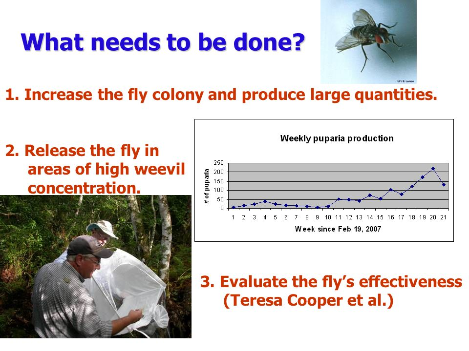 What needs to be done? 1. Increase the fly colony and produce large quantities. 2. Release the fly in areas of high weevil concentration. 3. Evaluate
