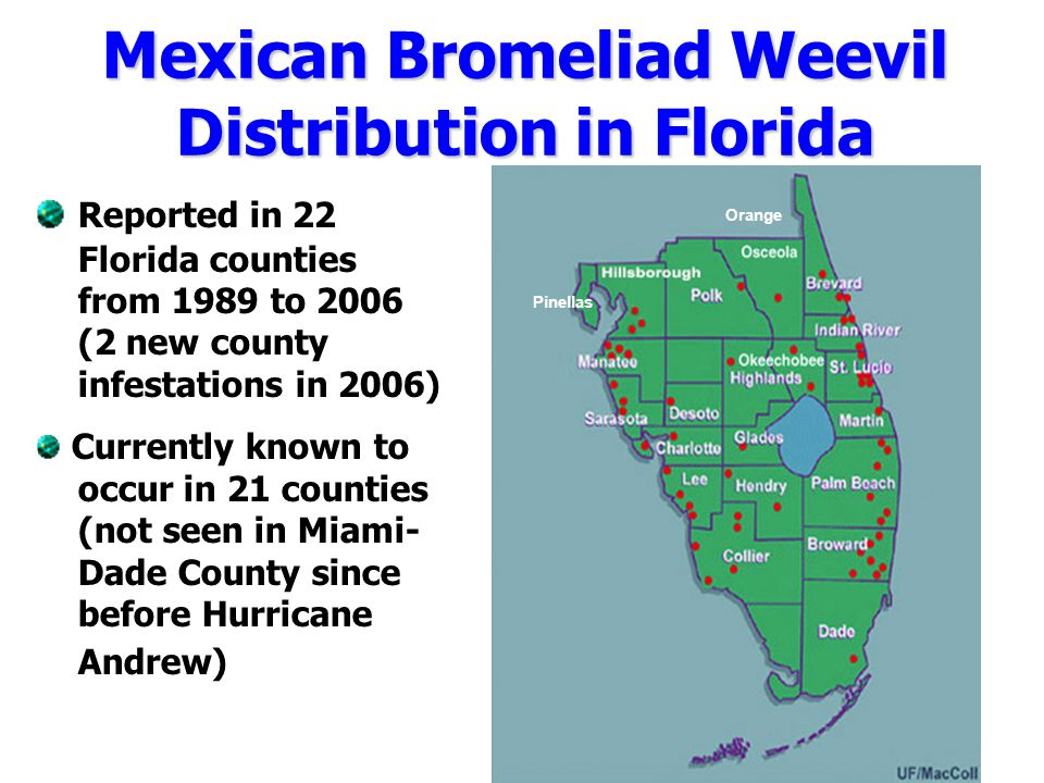 Mexican Bromeliad Weevil Distribution in Florida Reported in 22 Florida counties from 1989 to 2006 (2 new county infestations in 2006) Currently known to occur in 21 counties (not seen in Miami- Dade County since before Hurricane Andrew) Pinellas Orange