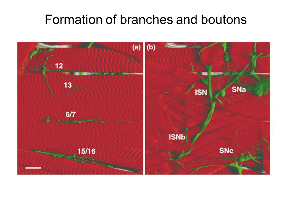 Formation of branches and boutons