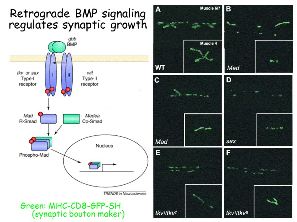 Retrograde BMP signaling regulates synaptic growth Green: MHC-CD8-GFP-SH (synaptic bouton maker)