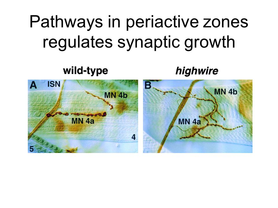 Pathways in periactive zones regulates synaptic growth
