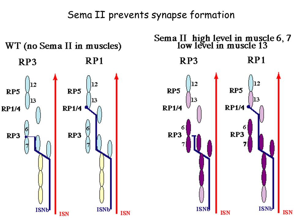 Sema II prevents synapse formation