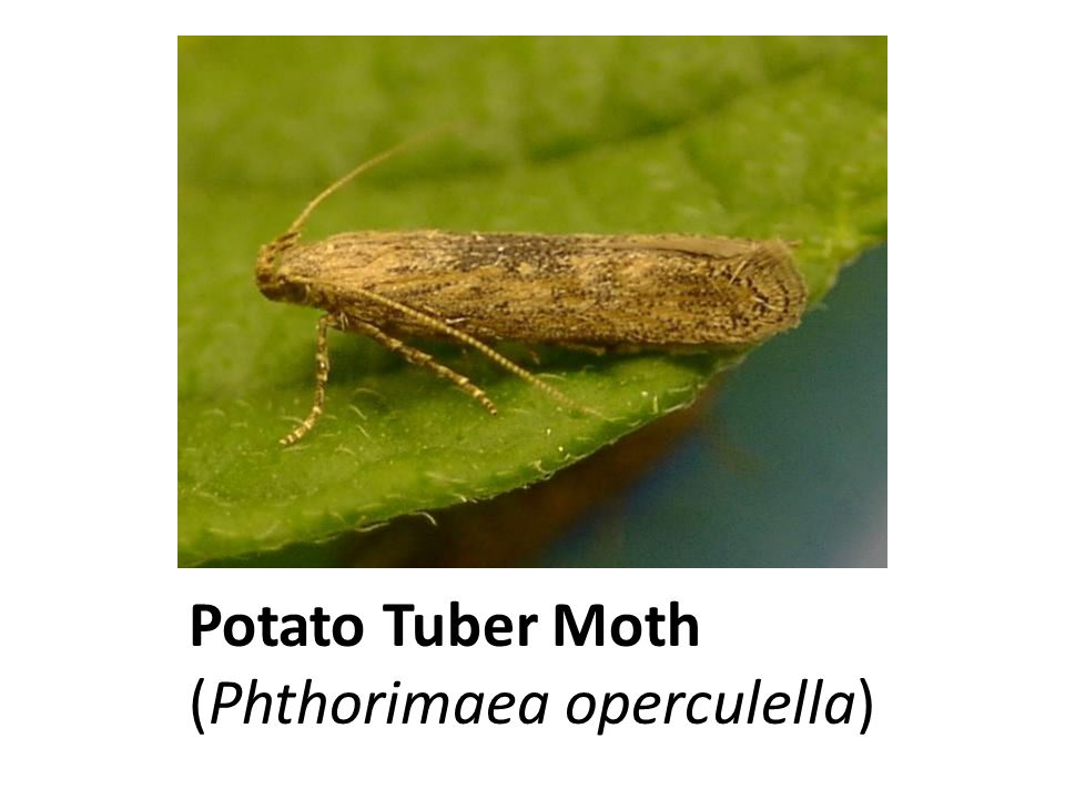 Potato Tuber Moth (Phthorimaea operculella)