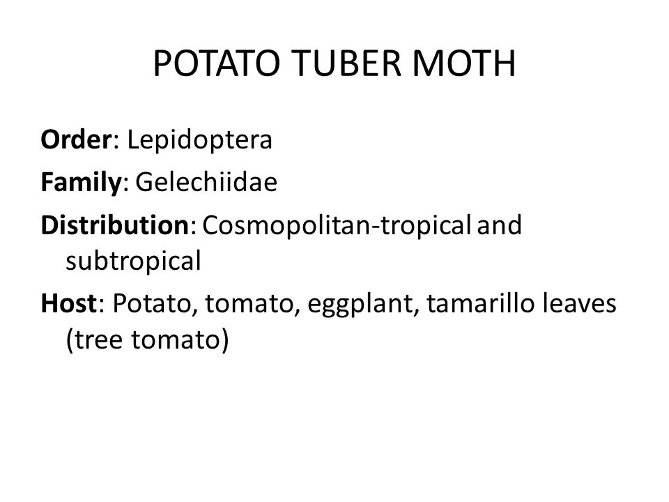 POTATO TUBER MOTH Order: Lepidoptera Family: Gelechiidae Distribution: Cosmopolitan-tropical and subtropical Host: Potato, tomato, eggplant, tamarillo