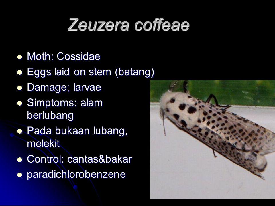 Zeuzera coffeae Moth: Cossidae Moth: Cossidae Eggs laid on stem (batang) Eggs laid on stem (batang) Damage; larvae Damage; larvae Simptoms: alam batang berlubang Simptoms: alam batang berlubang Pada bukaan lubang, cecair melekit Pada bukaan lubang, cecair melekit Control: cantas&bakar Control: cantas&bakar paradichlorobenzene paradichlorobenzene