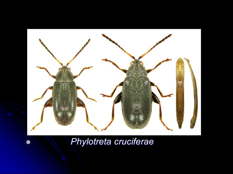 Phylotreta cruciferae Phylotreta cruciferae