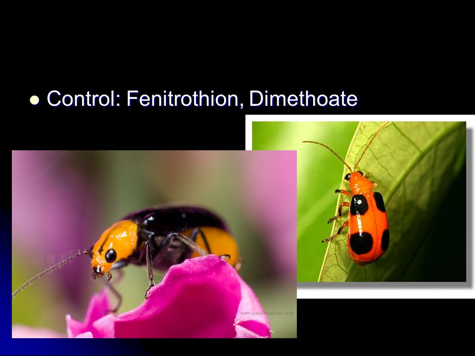 Control: Fenitrothion, Dimethoate Control: Fenitrothion, Dimethoate