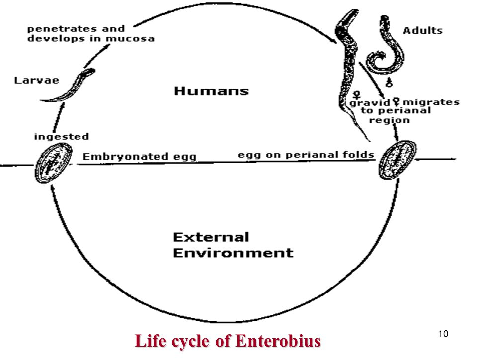 10 Life cycle of Enterobius Life cycle of Enterobius