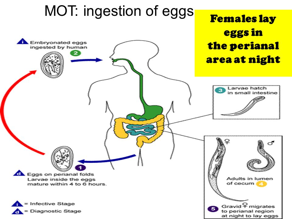 13 Females lay eggs in the perianal area at night MOT: ingestion of eggs