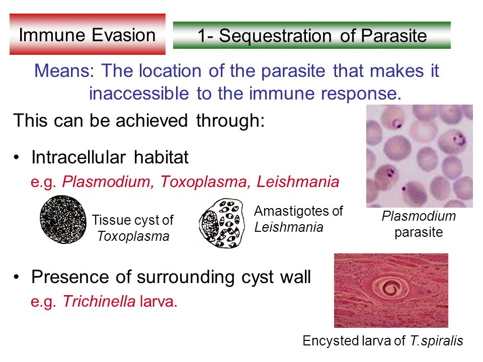 Immune Evasion Means: The location of the parasite that makes it inaccessible to the immune response.