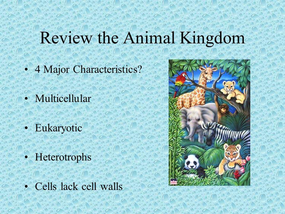 Review the Animal Kingdom 4 Major Characteristics? Multicellular Eukaryotic Heterotrophs Cells lack cell walls