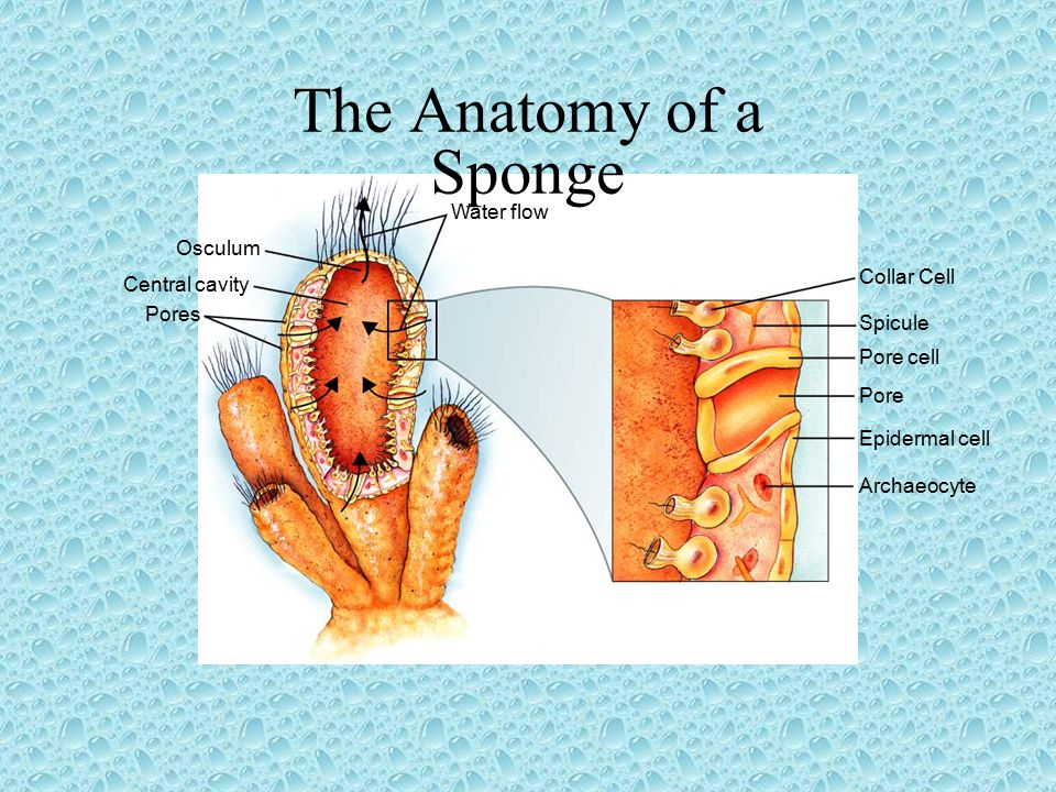 Water flow Collar Cell Spicule Pore cell Pore Epidermal cell Archaeocyte Osculum Central cavity Pores The Anatomy of a Sponge