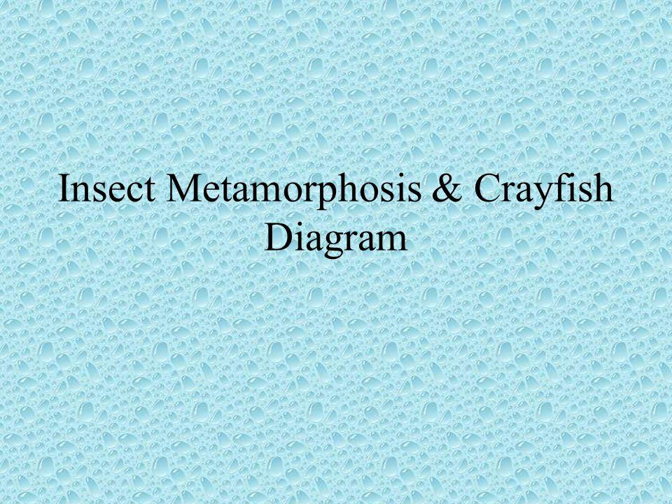 Insect Metamorphosis & Crayfish Diagram