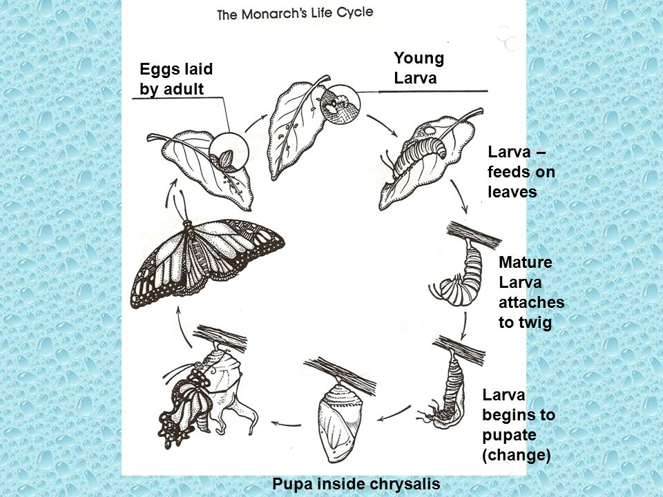 Eggs laid by adult Young Larva Larva – feeds on leaves Mature Larva attaches to twig Larva begins to pupate (change) Pupa inside chrysalis