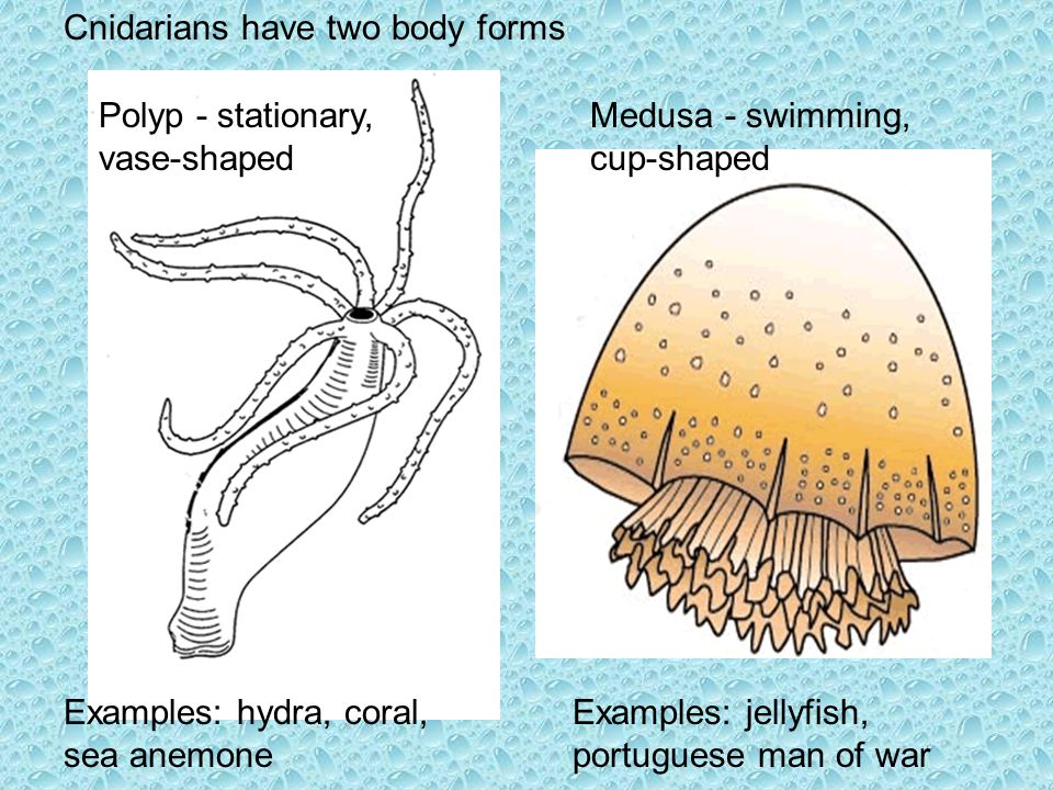 Examples: hydra, coral, sea anemone Examples: jellyfish, portuguese man of war Cnidarians have two body forms Polyp - stationary, vase-shaped Medusa -