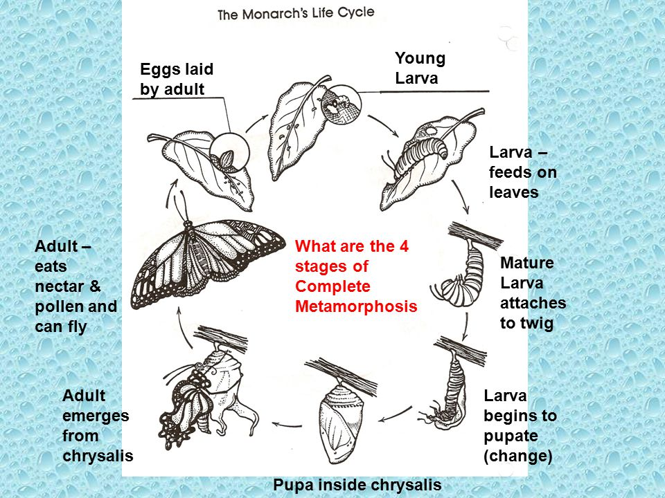 Eggs laid by adult Young Larva Larva – feeds on leaves Mature Larva attaches to twig Larva begins to pupate (change) Pupa inside chrysalis Adult emerg