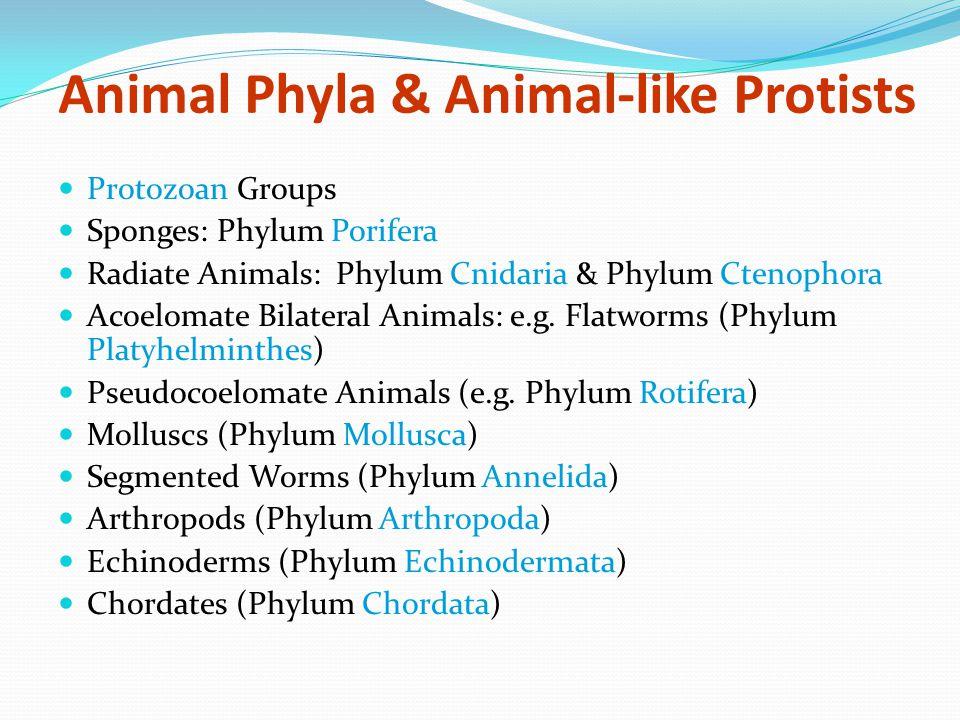 Animal Phyla & Animal-like Protists Protozoan Groups Sponges: Phylum Porifera Radiate Animals: Phylum Cnidaria & Phylum Ctenophora Acoelomate Bilateral Animals: e.g.