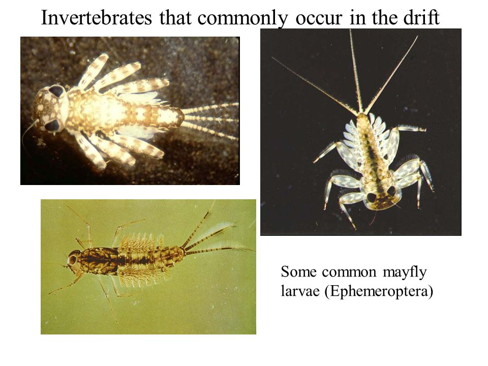 Some common mayfly larvae (Ephemeroptera) Invertebrates that commonly occur in the drift