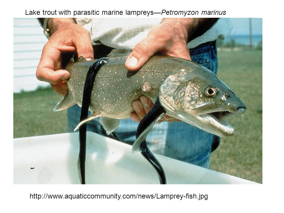 http://www.aquaticcommunity.com/news/Lamprey-fish.jpg Lake trout with parasitic marine lampreys—Petromyzon marinus