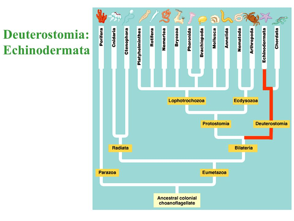 Deuterostomia: Echinodermata
