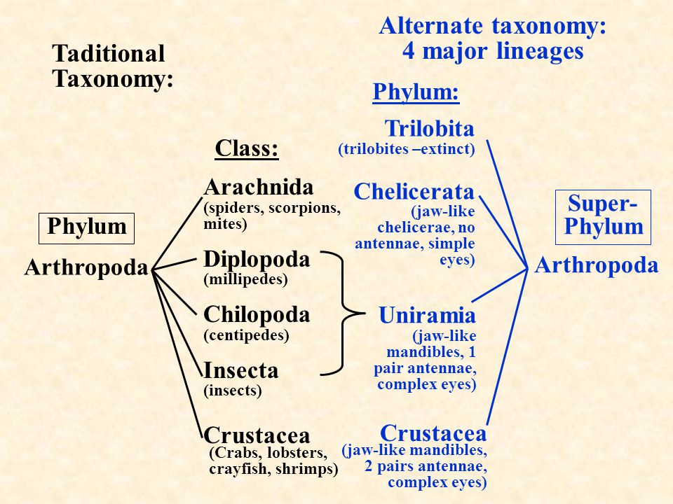 (Crabs, lobsters, crayfish, shrimps) Taditional Taxonomy: Phylum Class: Arachnida (spiders, scorpions, mites) Diplopoda (millipedes) Chilopoda (centip