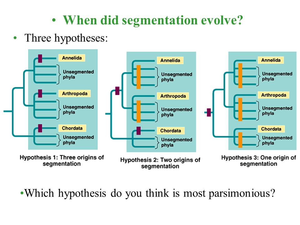 When did segmentation evolve? Three hypotheses: Which hypothesis do you think is most parsimonious?