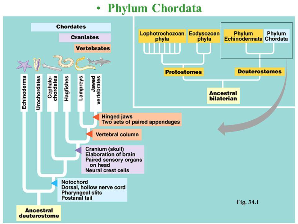Fig. 34.1 Phylum Chordata