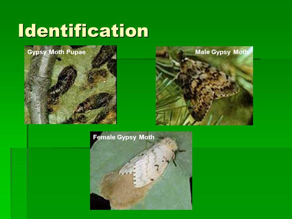 Identification Gypsy Moth PupaeMale Gypsy Moth Female Gypsy Moth