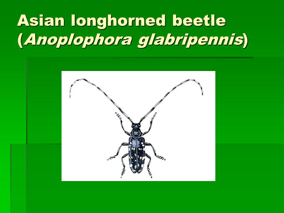 Asian longhorned beetle (Anoplophora glabripennis) Asian longhorned beetle (Anoplophora glabripennis)
