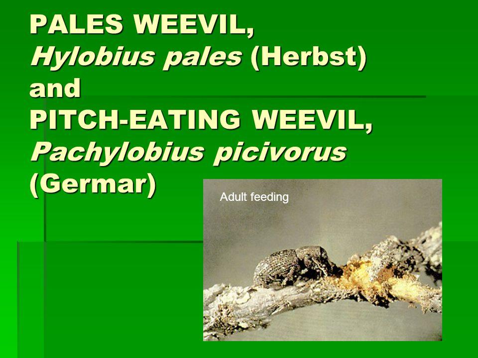 PALES WEEVIL, Hylobius pales (Herbst) and PITCH-EATING WEEVIL, Pachylobius picivorus (Germar) Adult feeding