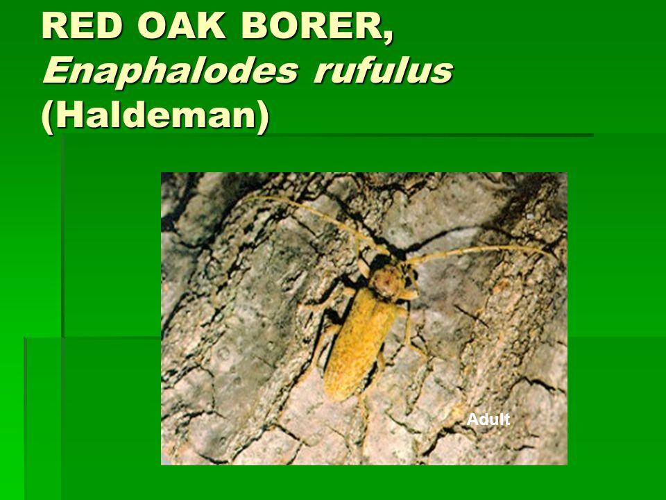 RED OAK BORER, Enaphalodes rufulus (Haldeman) Adult