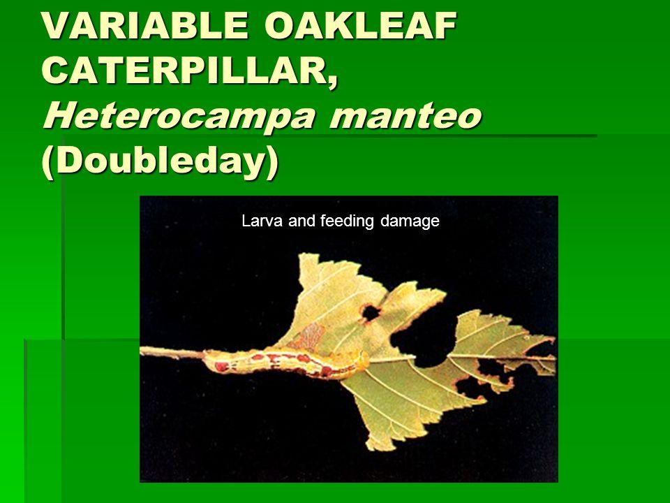 VARIABLE OAKLEAF CATERPILLAR, Heterocampa manteo (Doubleday) Larva and feeding damage
