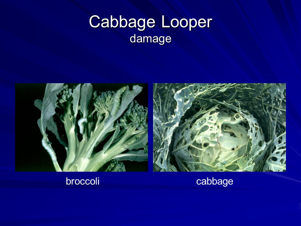 Cabbage Looper damage cabbagebroccoli