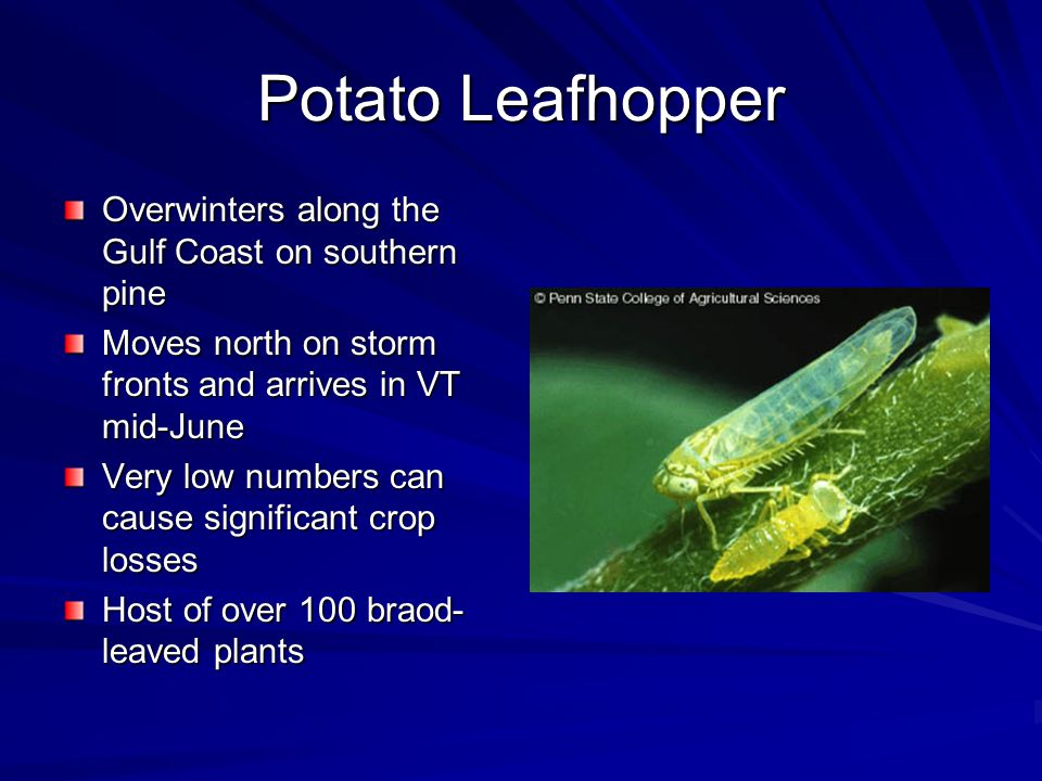 Potato Leafhopper Overwinters along the Gulf Coast on southern pine Moves north on storm fronts and arrives in VT mid-June Very low numbers can cause significant crop losses Host of over 100 braod- leaved plants