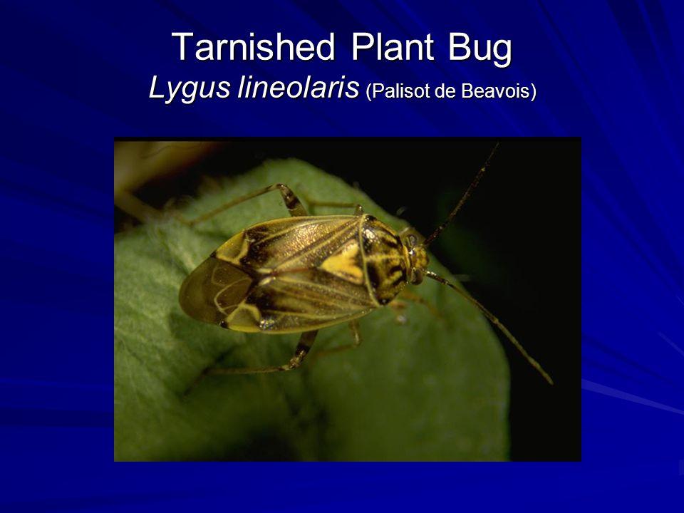 Tarnished Plant Bug Lygus lineolaris (Palisot de Beavois)