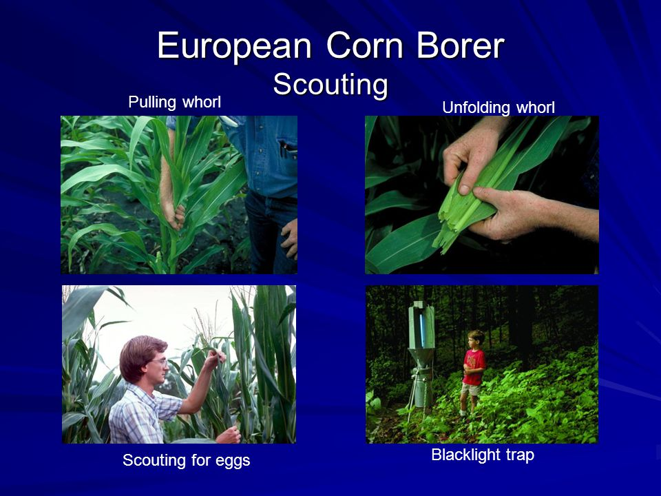 European Corn Borer Scouting Pulling whorl Unfolding whorl Scouting for eggs Blacklight trap