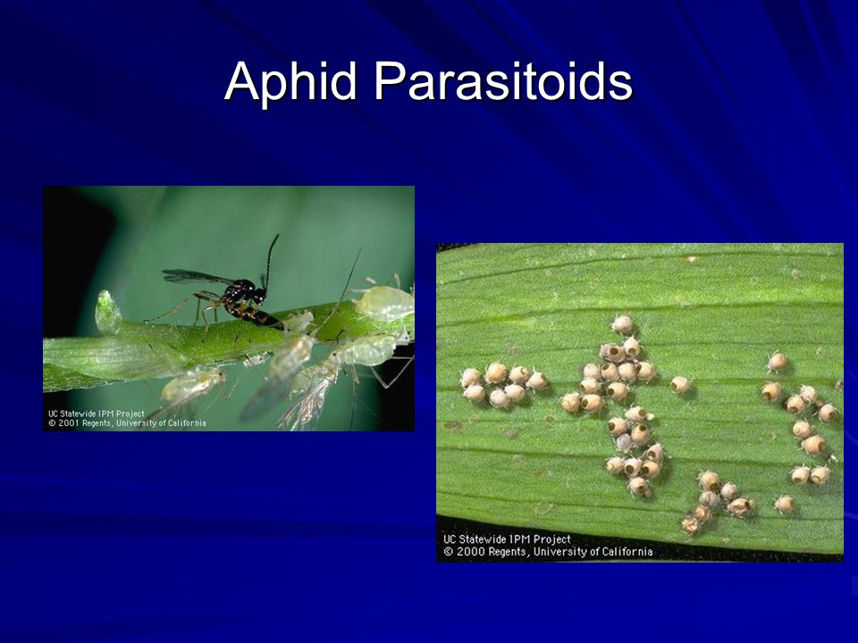 Aphid Parasitoids