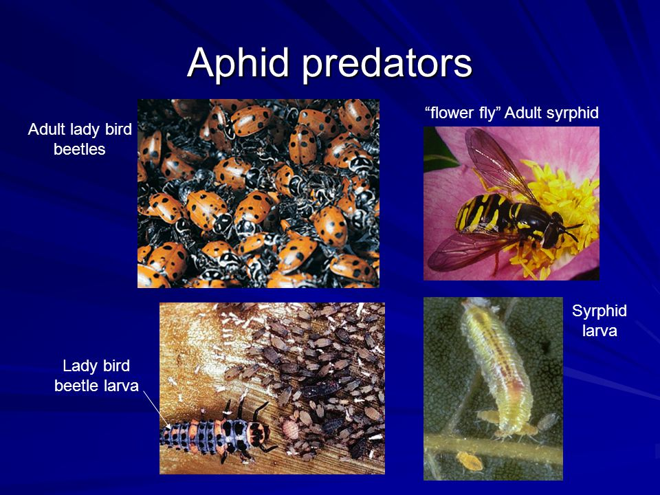 Aphid predators Adult lady bird beetles Lady bird beetle larva flower fly Adult syrphid Syrphid larva