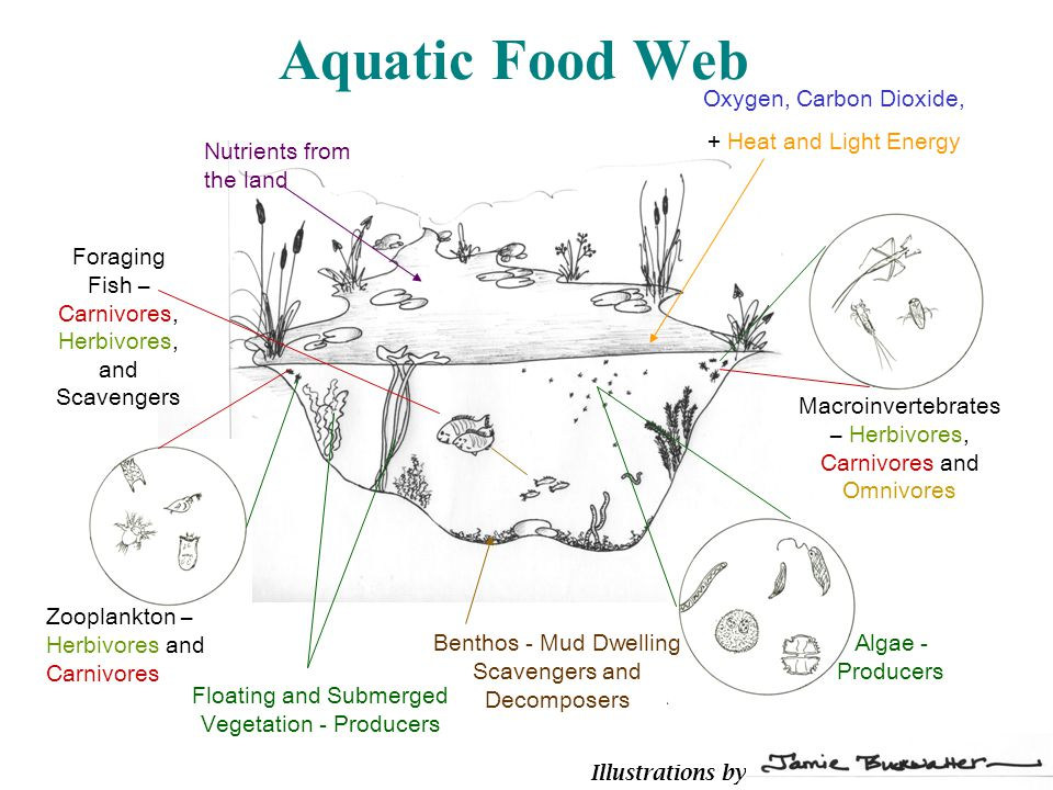 Aquatic Food Web Algae - Producers Benthos - Mud Dwelling Scavengers and Decomposers Zooplankton – Herbivores and Carnivores Macroinvertebrates – Herbivores, Carnivores and Omnivores Foraging Fish – Carnivores, Herbivores, and Scavengers Floating and Submerged Vegetation - Producers Oxygen, Carbon Dioxide, + Heat and Light Energy Nutrients from the land Illustrations by