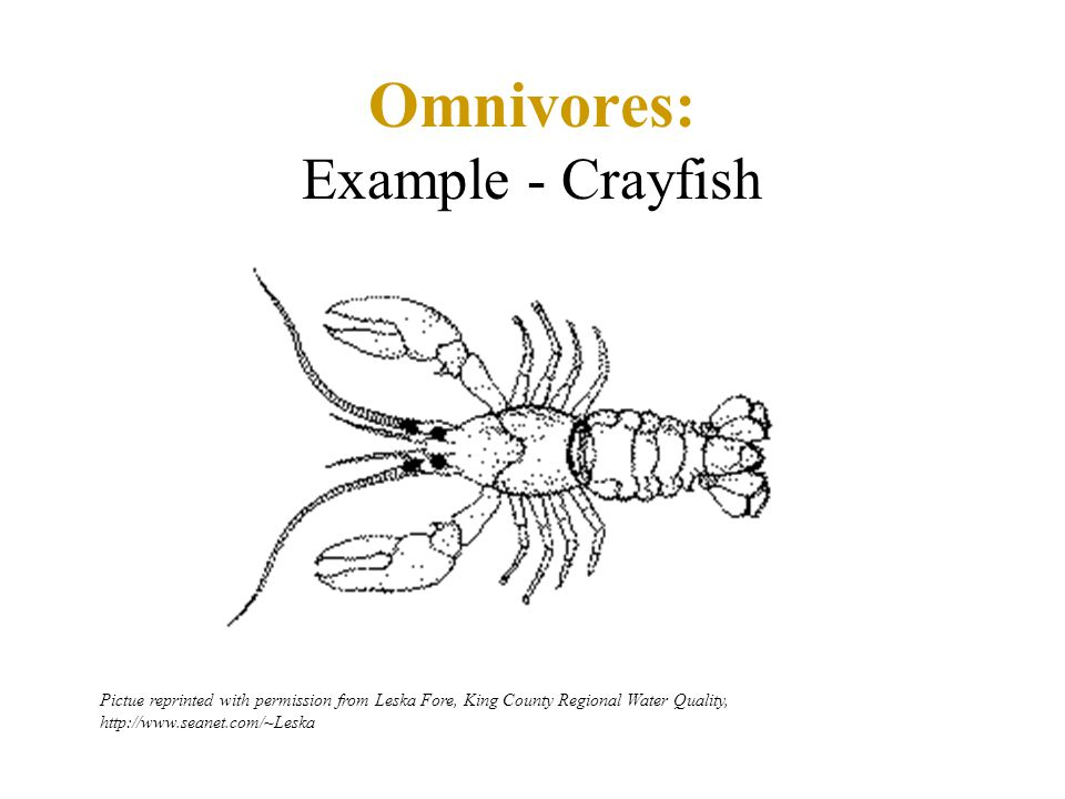 Omnivores: Example - Crayfish Pictue reprinted with permission from Leska Fore, King County Regional Water Quality, http://www.seanet.com/~Leska