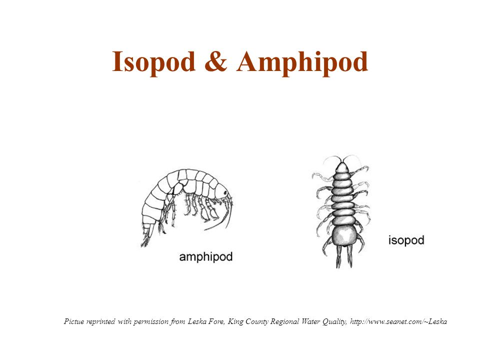 Isopod & Amphipod Pictue reprinted with permission from Leska Fore, King County Regional Water Quality, http://www.seanet.com/~Leska