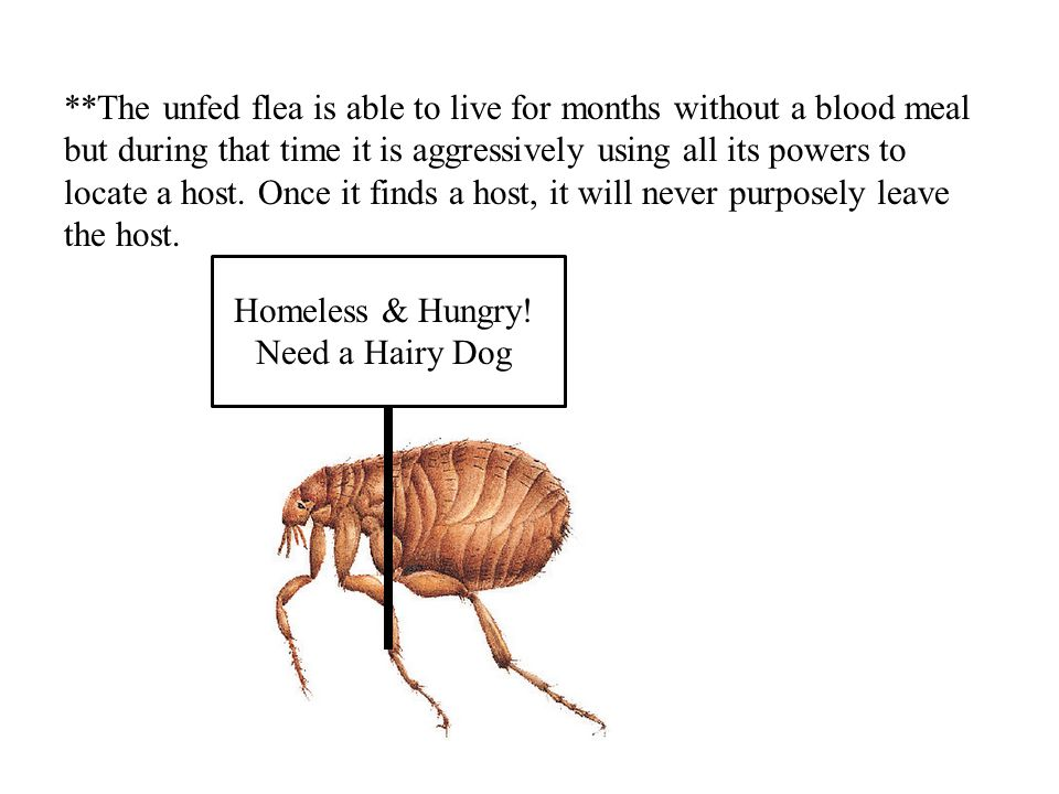 **The unfed flea is able to live for months without a blood meal but during that time it is aggressively using all its powers to locate a host. Once i