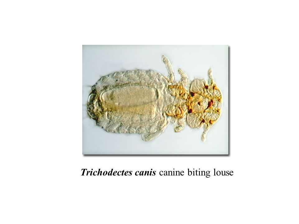 Trichodectes canis canine biting louse