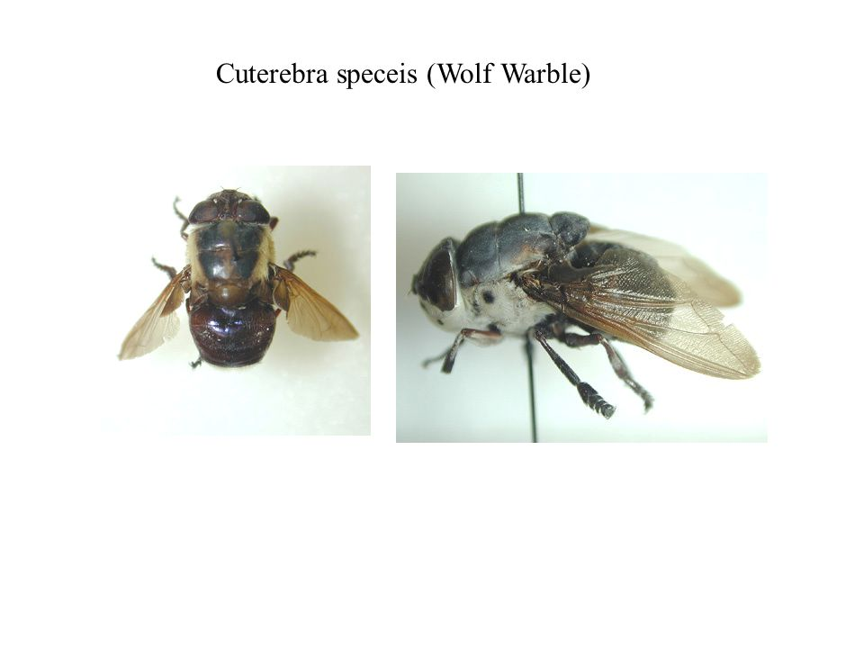 Cuterebra speceis (Wolf Warble)