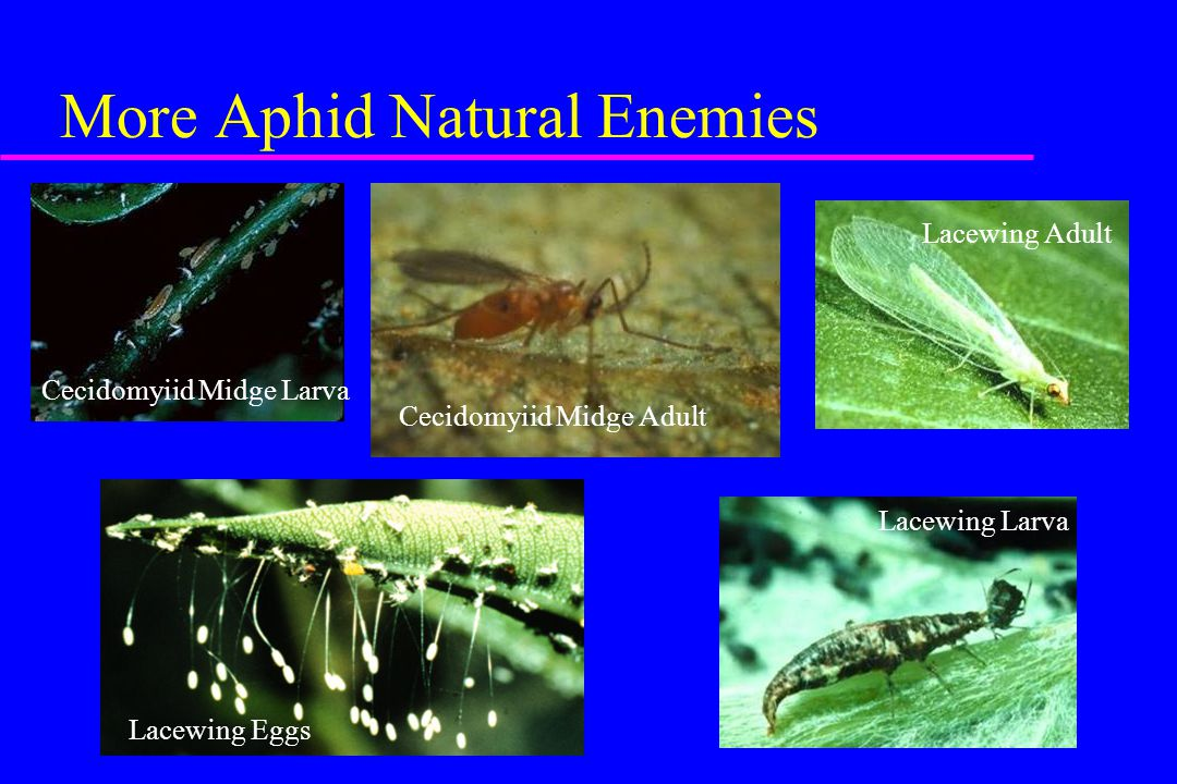 More Aphid Natural Enemies Lacewing Adult Lacewing Larva Lacewing Eggs Cecidomyiid Midge Adult Cecidomyiid Midge Larva