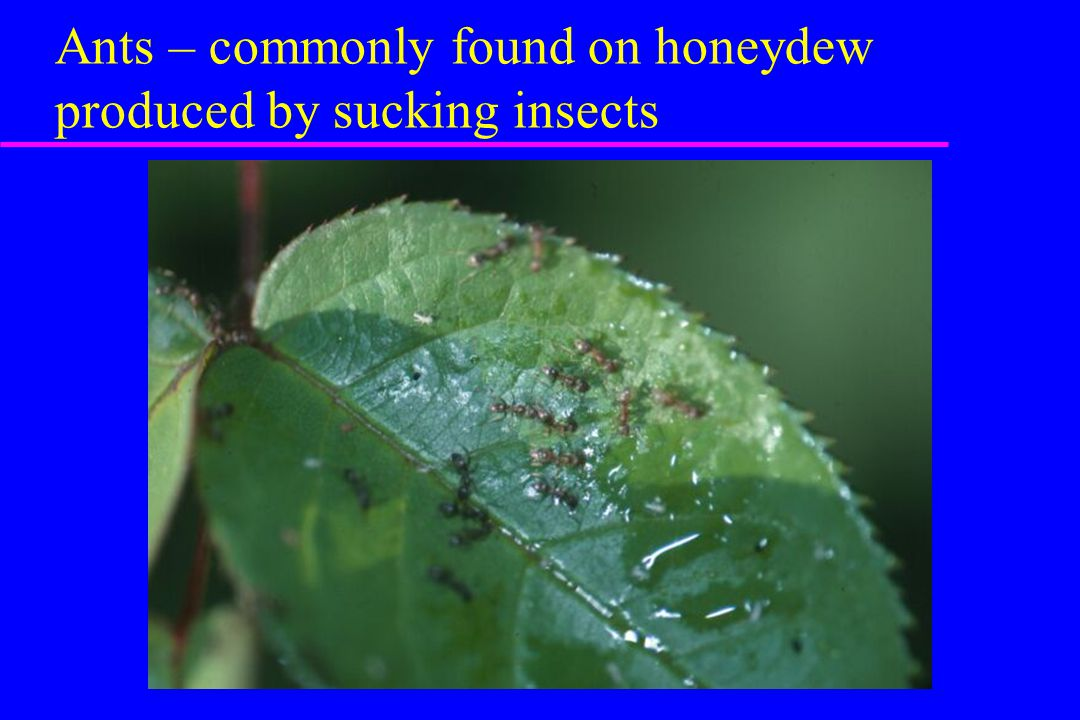 Ants – commonly found on honeydew produced by sucking insects