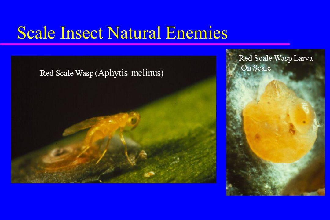 Scale Insect Natural Enemies Red Scale Wasp ( Aphytis melinus) Red Scale Wasp Larva On Scale