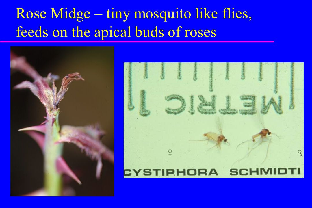 Rose Midge – tiny mosquito like flies, feeds on the apical buds of roses